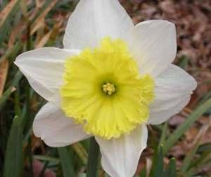 daffodilflower-1a